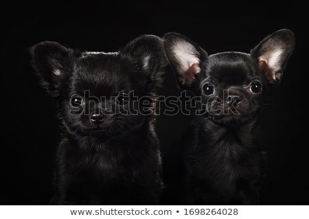 黒 · 毛皮 · 犬 · 暗い · 写真 · スタジオ - ストックフォト © vauvau