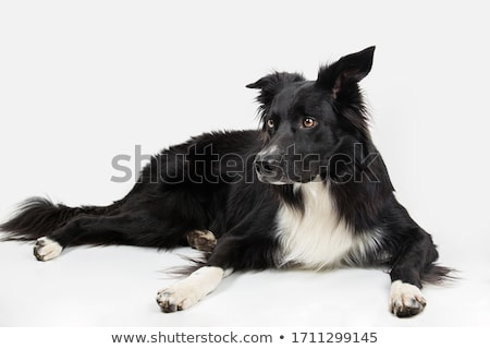 border collie relaxing in white studio floor stock photo © vauvau