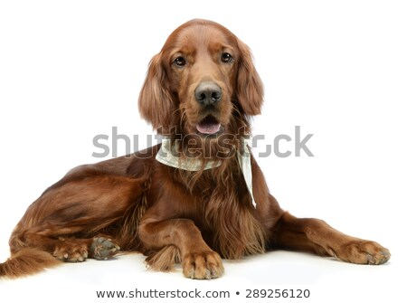 english setter lying down in a white photo studio Stock photo © vauvau