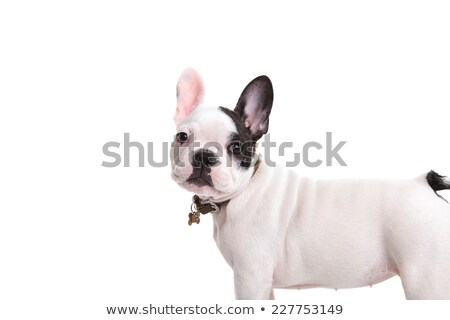 funny ears white dog standing in white background Stock photo © vauvau