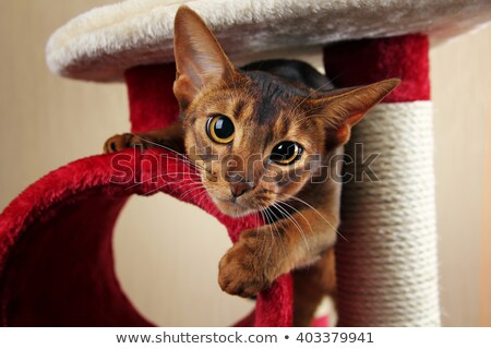 macska · fej · közelkép · természet · haj · állat - stock fotó © cynoclub