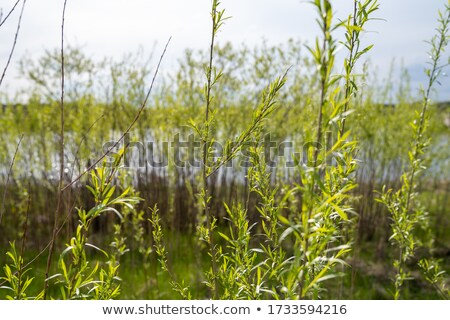 beautiful willow in spring Stock photo © taviphoto