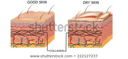 Schemat normalny skóry ilustracja medycznych Zdjęcia stock © bluering