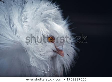 branco · pomba · gaiola · sessão · topo - foto stock © franky242