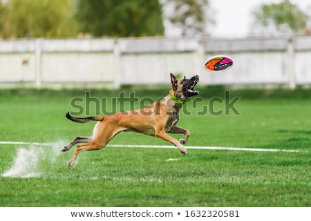 dog belgian shepherd malinois jumping for disk stock photo © avheertum