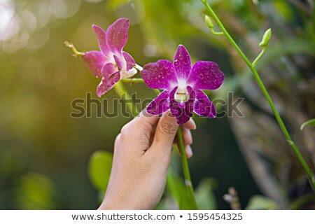 Woman holding a pot of violet Stock photo © vlad_star
