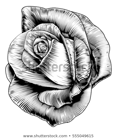 Rózsa virág klasszikus gravírozott egy szál rózsa retró stílus Stock fotó © Krisdog