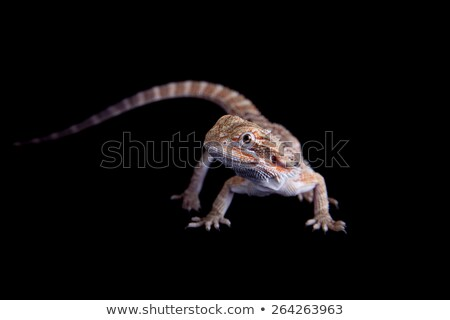 Barbu animal noir reptile lézard dragon Photo stock © JanPietruszka
