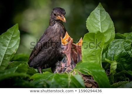 bébé · blackbird · oeil · nature · oiseau - photo stock © manfredxy