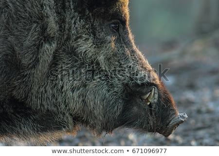 Foto stock: Wild Boar In Sunset Light