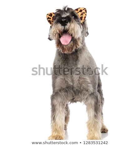 excited schnauzer with animal print headband looks up to side Stock photo © feedough