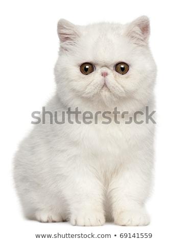cute · exotisch · korthaar · kitten · witte · hoofd - stockfoto © CatchyImages