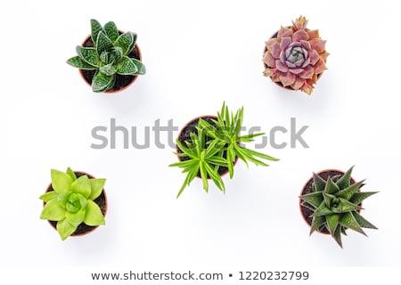 кактус · домой · саду · складе · фото · цветок - Сток-фото © brebca