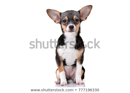 Studio shot of an adorable short haired Chihuahua Stock photo © vauvau