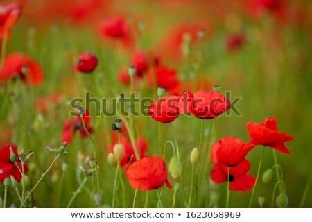 Agricultural field with red poppies planted in straight rows Stock photo © ElenaBatkova