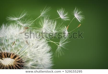 Detailed of dandelion seeds Stock photo © Ansonstock