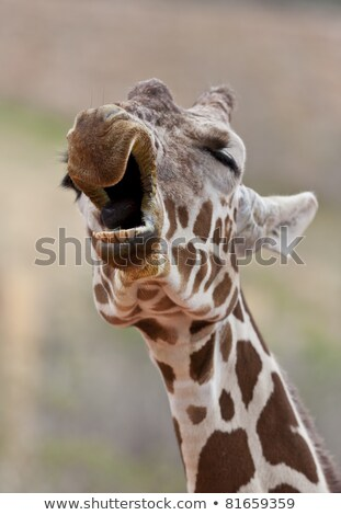 Giraffe Yawning Stock photo © macropixel