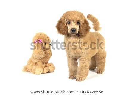 portrait of a brown poodle dog standing stock photo © raywoo