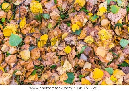 береза дерево листьев осень желтый Сток-фото © Bobbie66
