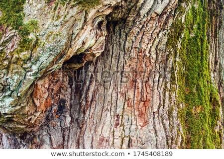 grand · vieux · chêne · île · arbre · nature - photo stock © pashabo