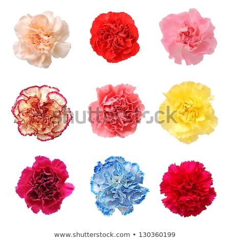 Blue flower of carnation Stock photo © boroda