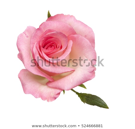 pink roses on a white background stock photo © inxti