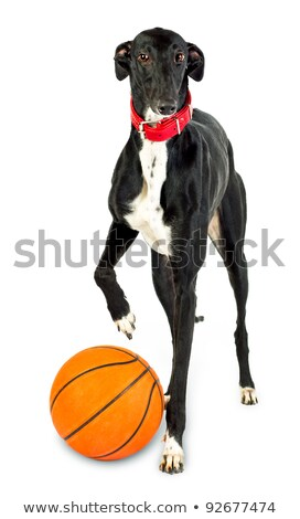 Greyhound dog, 18 months old,  with a basketball Stock photo © vlad_star