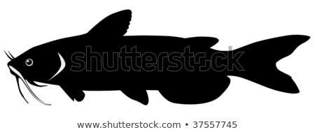 Silhouette of catfish Stock photo © perysty