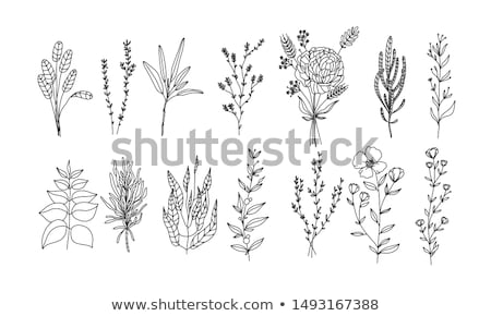 Hierba colección flor verano medicina planta Foto stock © dagadu