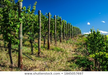 畑 ポルトガル 春 時間 ツリー ワイン ストックフォト © inaquim