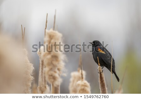 Female Red Winged Blackbird in a Tree Stock photo © rhamm