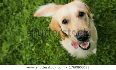 Beagle · jugando · golden · retriever · jóvenes - foto stock © taviphoto