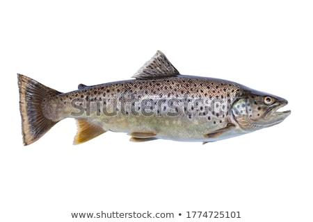 Brown trout, Salmo trutta Stock photo © Arrxxx
