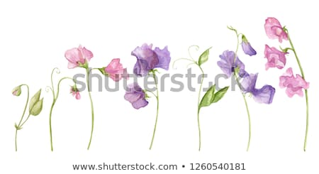 Sweet pea stock photo © varts
