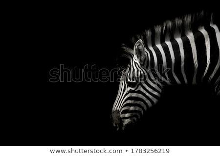 печально зебры Постоянный солнце природы Африка Сток-фото © c-foto