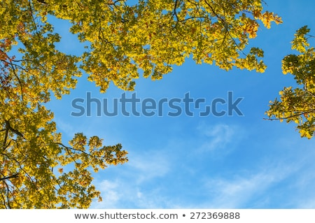 crown of oak tree in indian summer colors stock photo © meinzahn