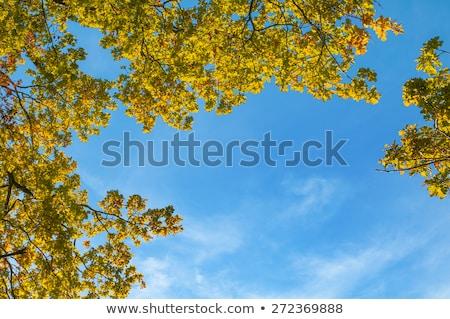 Coroa carvalho indiano verão cores céu Foto stock © meinzahn