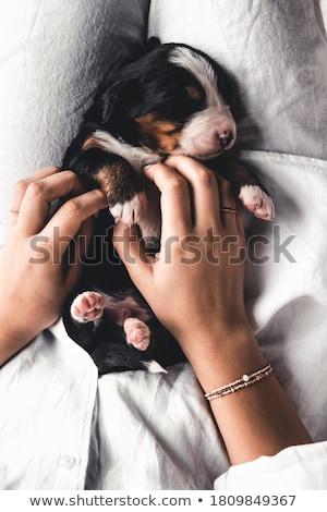 Köpek yavrusu İngilizce buldok 7 gün eski Stok fotoğraf © willeecole