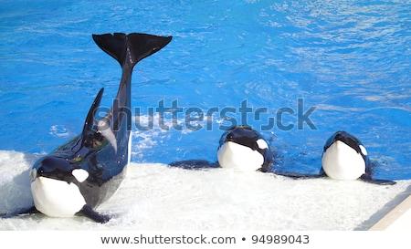assassino · baleia · branco · cor · ilustração · água - foto stock © bmonteny