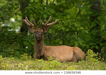 elk resting on a meadow in great smoky mountains Stock photo © alex_grichenko