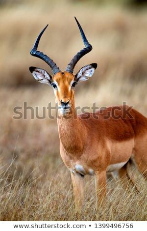Impla Antelope Male Stock photo © fouroaks
