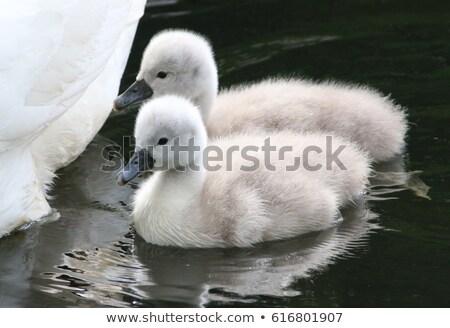 Baby mute swan, cygnus olor Stock photo © Elenarts
