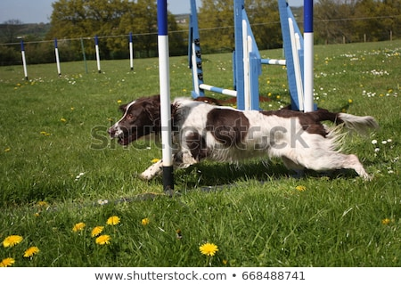 Photo stock: Working Type English Springer Spaniel Pet Gundog Agility Weaving