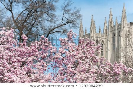 Cathédrale fleurs du printemps fleur arbre nature printemps Photo stock © Relu1907