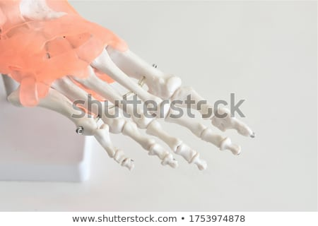 Human anatomy model used in Health care Stock photo © Klinker