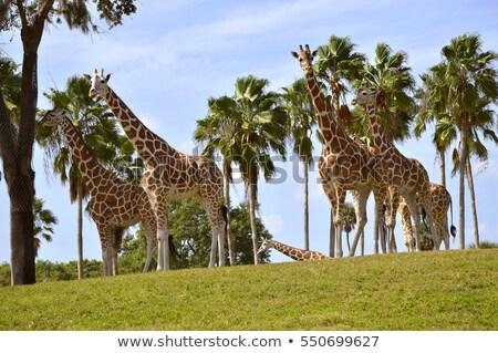 heard of Giraffa camelopardalis Stock photo © artush