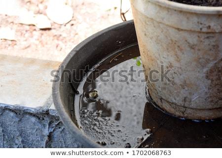 Aedes albopictus mosquito Stock photo © smuay