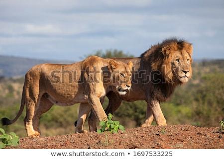 Sauvage chats famille habitat nature lion Photo stock © ConceptCafe