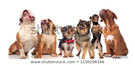 Stock photo: six puppies breed boxer