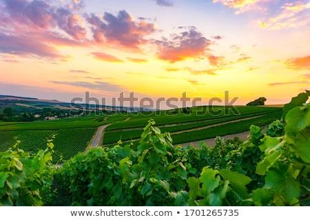 Rows of vines Stock photo © Fotografiche
